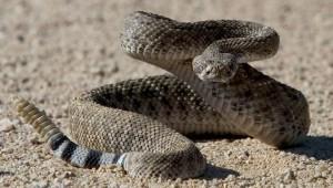 Serpente a sonagli